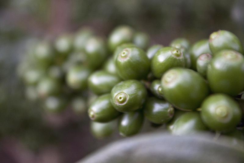 bolaven-coffeebean