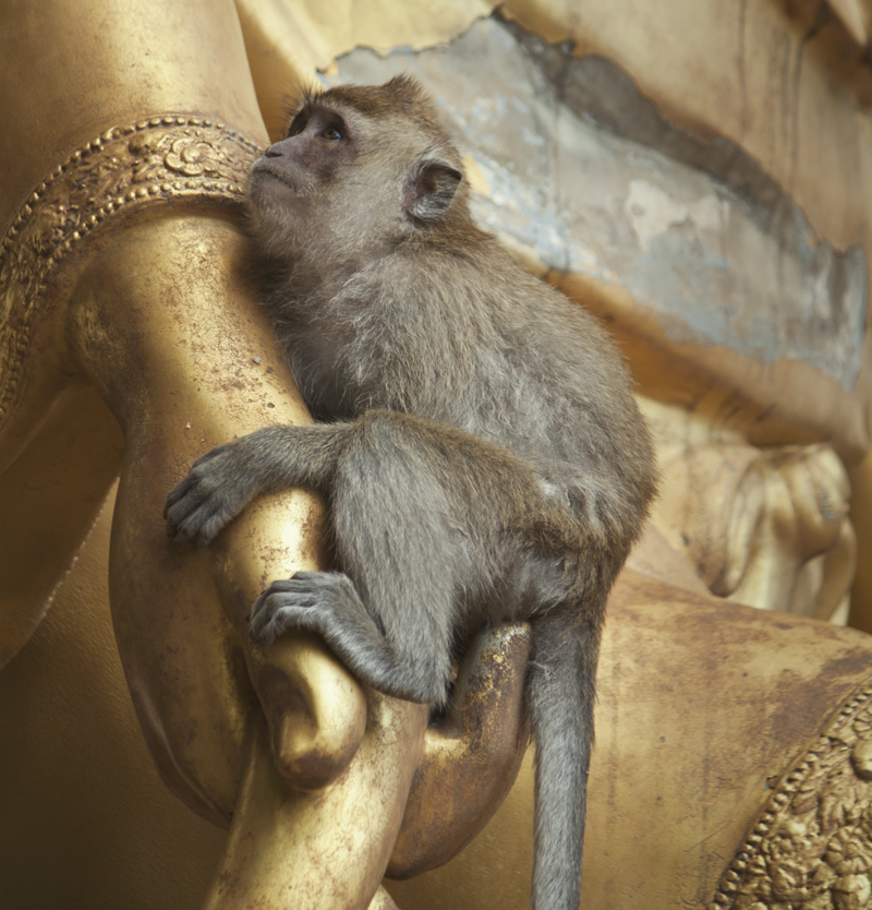 Monkey at Tiger Temple in Krabi, Thailand