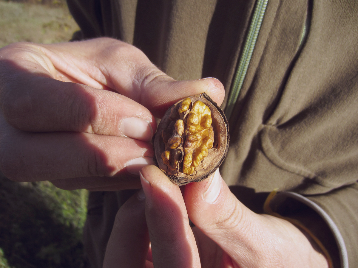 walnut picking balkans